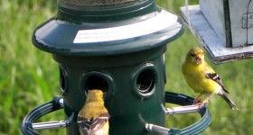 goldfinch at squirrel buster plus feeder