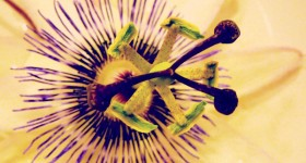 passion flower bloom center