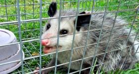 possum capture